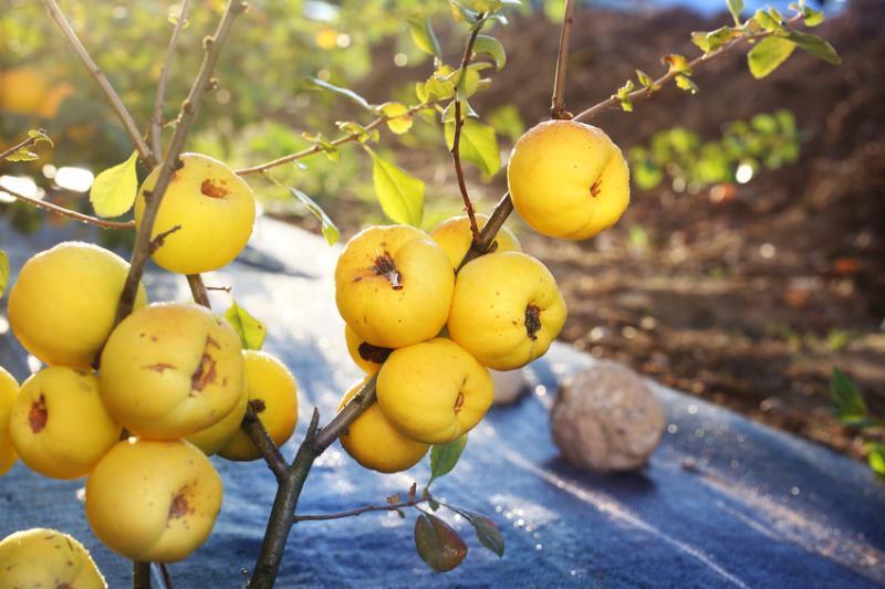 Sadzonka krzewu pigwowca japońskiego z owocami