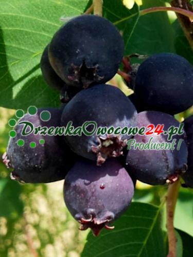 Owoc na sadzonce Świdośliwy Olcholistnej Honeywood