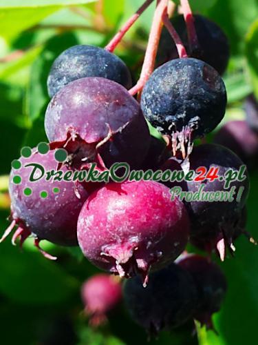Owoce na sadzonce Świdośliwy Jajowatej