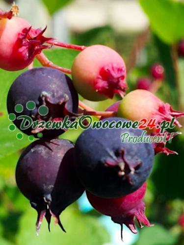 Owoce na sadzonce Świdośliwy Lamarckiej