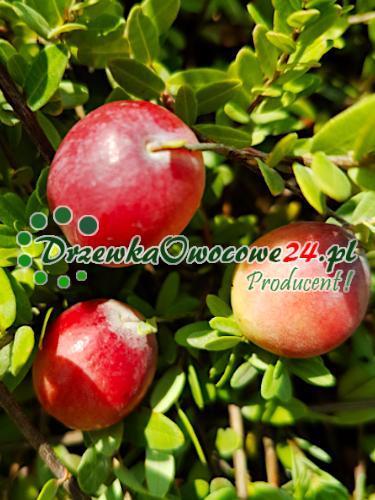 Owocujący krzew żurawiny wielkoowocowej Pilgrim. Sadzonki w sprzedaży internetowej.