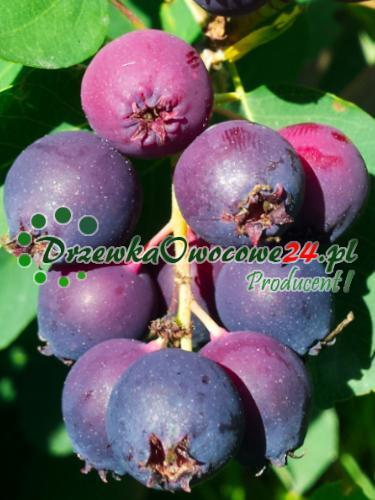 Owoc na sadzonce Świdośliwy Olcholistnej Smoky
