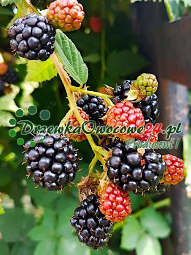 owocujący krzew jeżyny bezkolcowej Black Satin. Sadzonka w sprzedaży wysyłkowej.