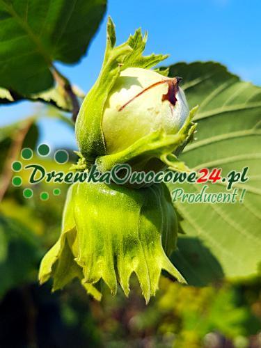 Owoc na sadzonce orzecha laskowego odmiany Kataloński
