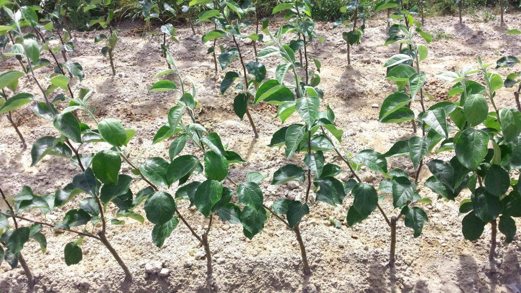 Prowadzenie Drzewek Owocowych
