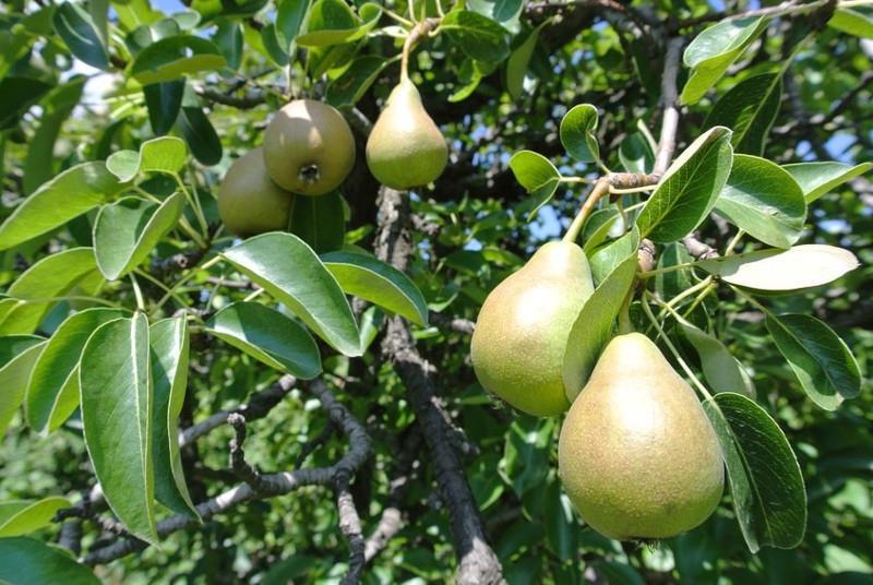 odmiany gruszek