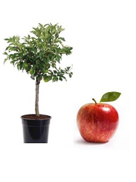 Mini Jabłoń Delegrina