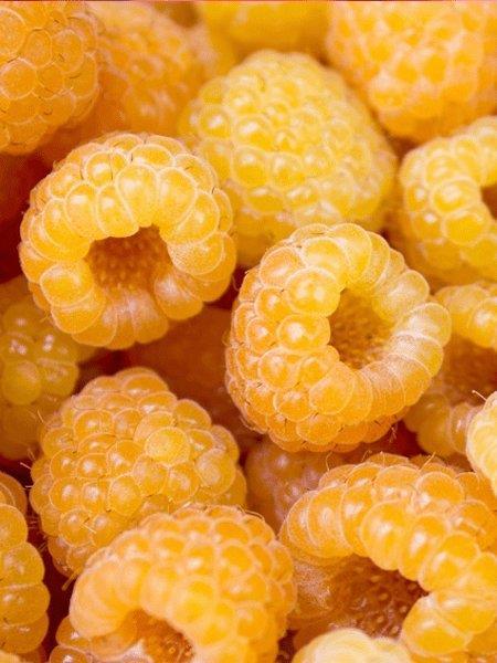 Malina żółta powtarzająca