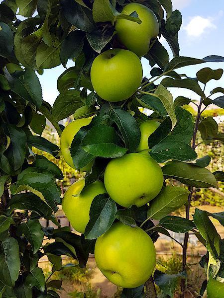 sadzonka Jabłoni kolumnowej odmiany Bolero z owocami