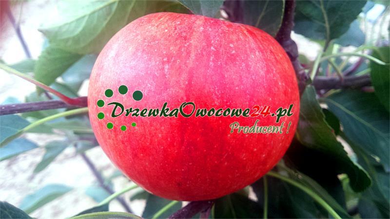 Jabłoń James Grieve