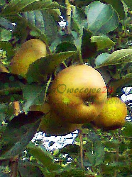 Jabłoń Złota Reneta (Królowa Renet)