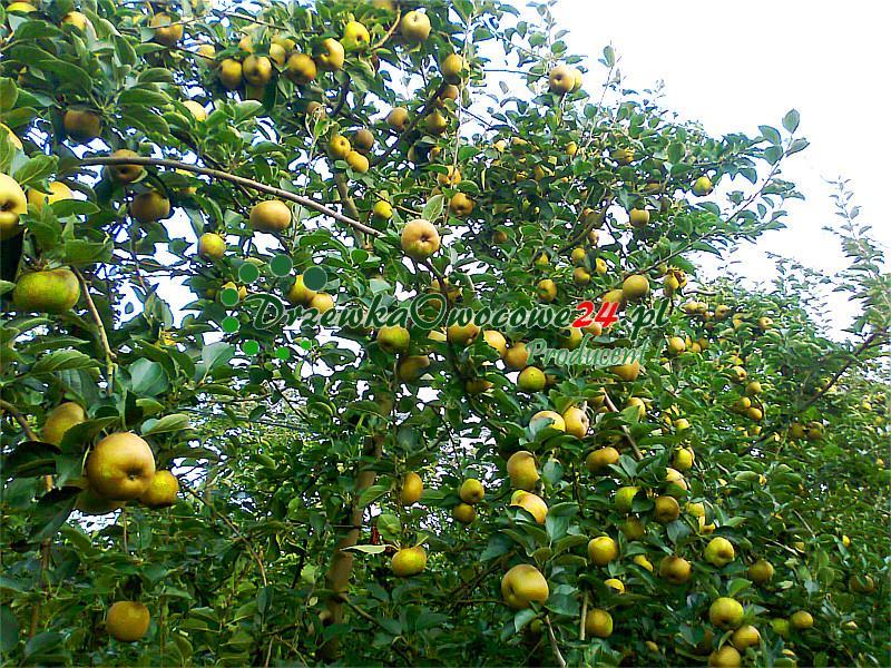 Jabłoń Złota Reneta (Królowa Renet) w sadzie