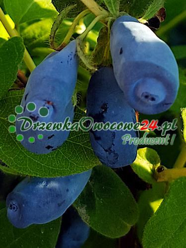 owocująca sadzonka jagody kamczackiej Zojka