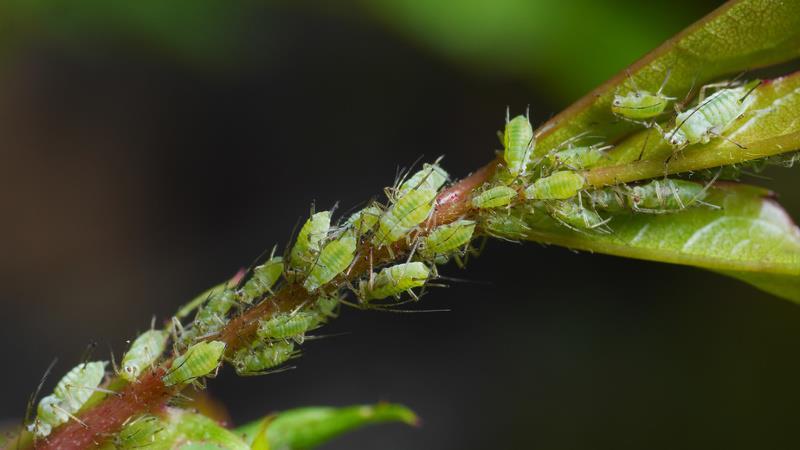 szkodniki drzew owocowych - mszyce