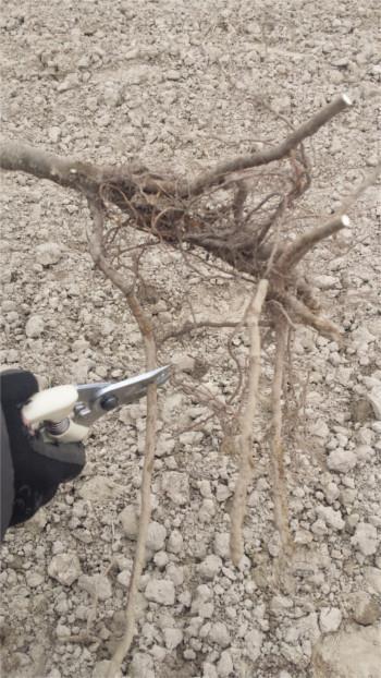 sadzenie drzew owocowych - przegląd systemu korzeniowego