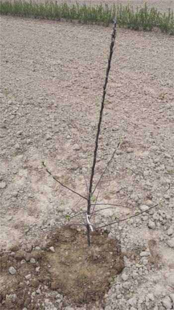 sadzenie drzew owocowych - tworzenie misy