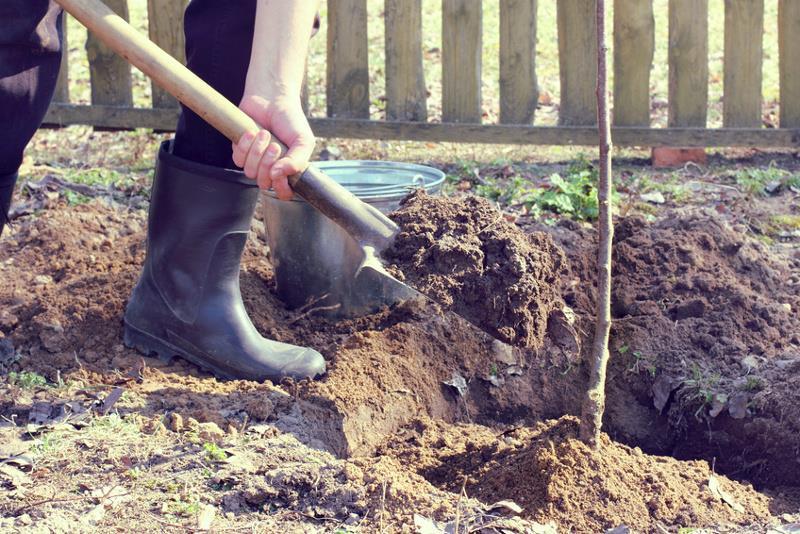 Sadzenie drzew owocowych krok po kroku.