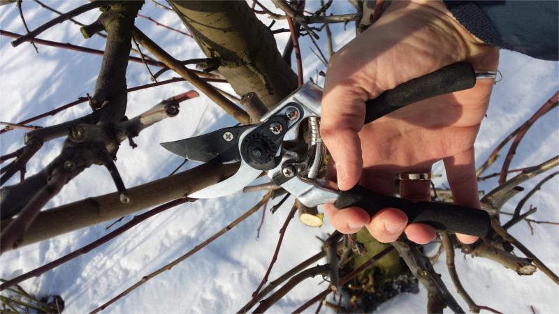 przycinanie drzew owocowych zimą