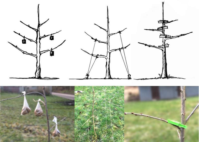 metody przyginania pędów drzew owocowych