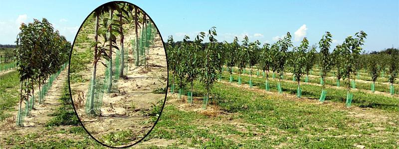 Zabezpieczanie drzew owocowych na zimę - siatki ochronne