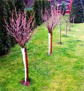 Bielenie pni drzew owocowych i krzewów.