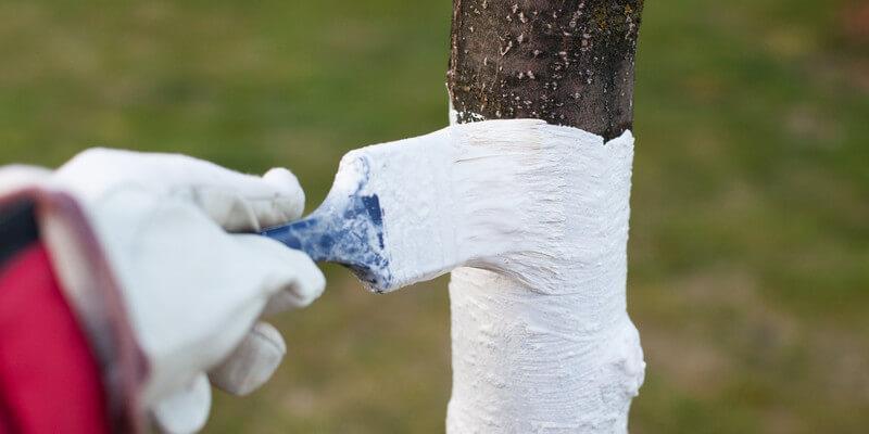 bielenie pni drzew owocowych i krzewów
