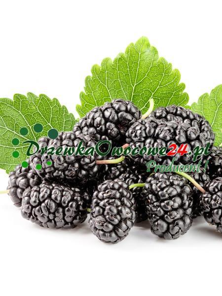 Morwa Czarna
