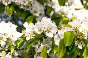 Zapylacze grusz - kwitnienie