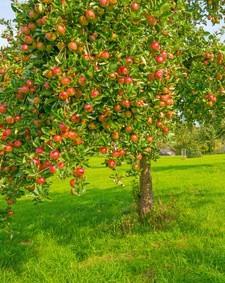 drzewka-owocowe