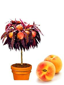 mini drzewka owocowe
