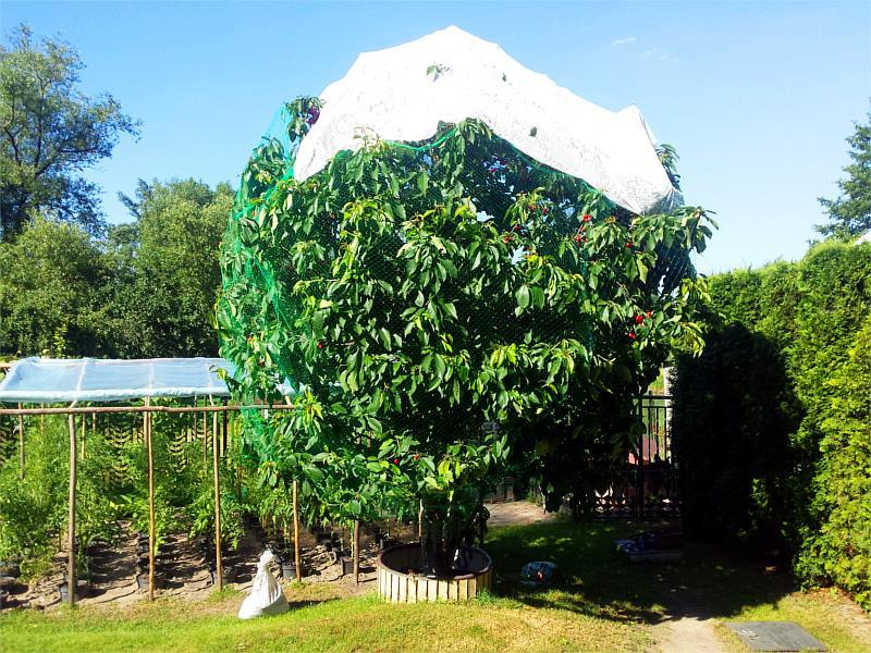 ochrona drzew owocowych przed ptakami
