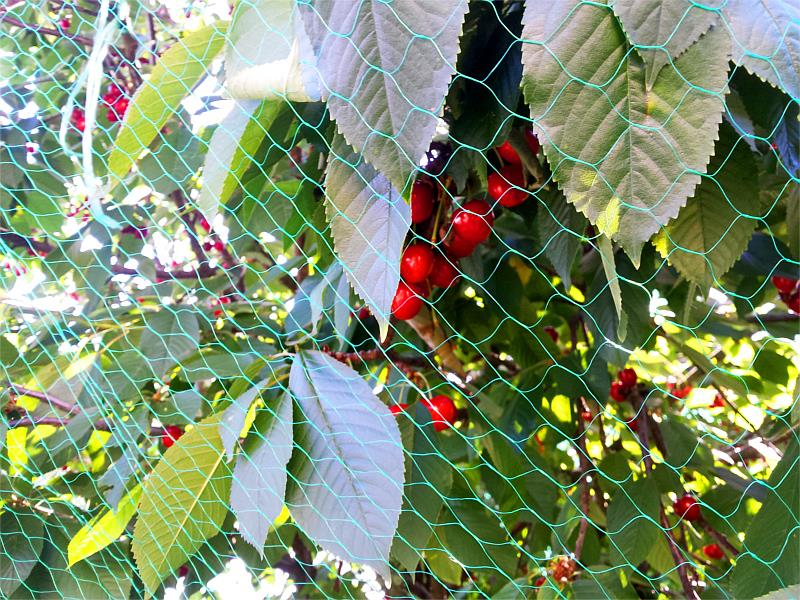 Zabezpieczanie czereśni przed ptakami