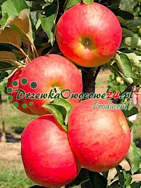 Jabłoń kolumnowa StarCats