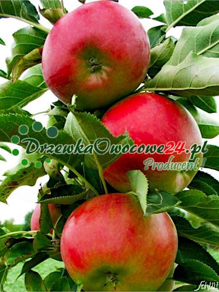 Jabłoń kolumnowa SunCats