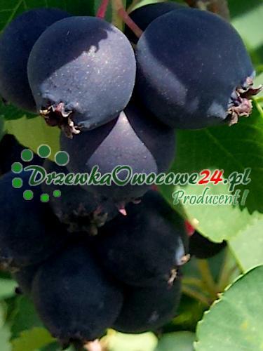 Owoc na sadzonce Świdośliwy Olcholistnej Northline