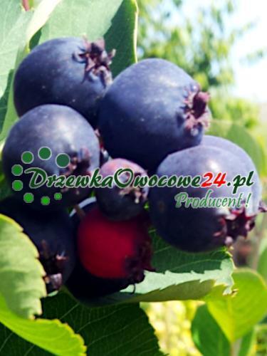 Owoc na sadzonce Świdośliwy Olcholistnej Thiessen