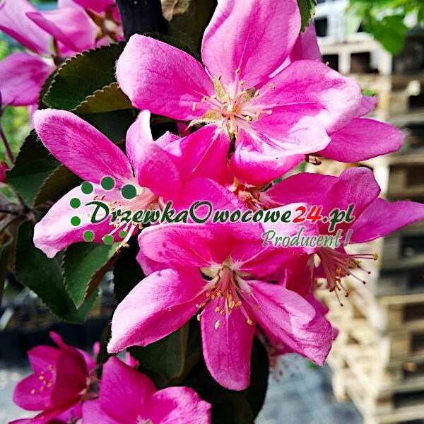Intensywnie Różowe kwiaty na sadzonce jabłoni kolumnowej odmiany Maypole