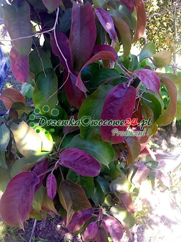 Jabłoń kolumnowa Maypole posiada czerwone liście
