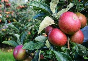 Jabłonie odmiany - stare i nowe odmiany jabłoni