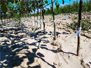 okulizacja drzewek owocowych