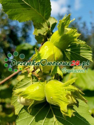 Owoc na sadzonce orzecha laskowego odmiany Cosford