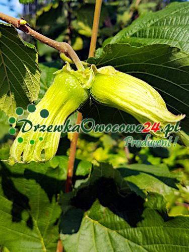 Owoc na sadzonce orzecha laskowego odmiany Webba Cenny