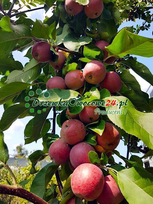 Jabłka o czerwonym miąższu na jabłoni kolumnowej odmiany Maypole