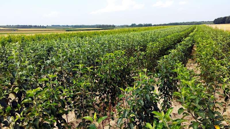 szkółka drzew owocowych