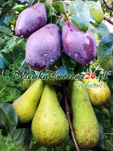 Owoce na sadzonce DUO gruszy Red Faworytka i Konferencja