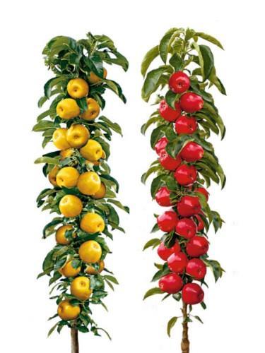 Owocujące sadzonki DUO jabłoni kolumnowej Bolero i Maypole