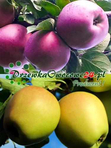 Sadzonki jabłoni DUO Malinowa Oberlandzka i Golden Delicious