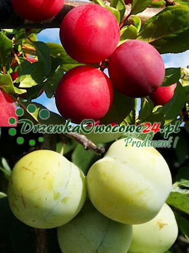 owocujące sadzonki DUO śliwa Renkloda Althana (czerwona i Renkloda Ulena (zielona)