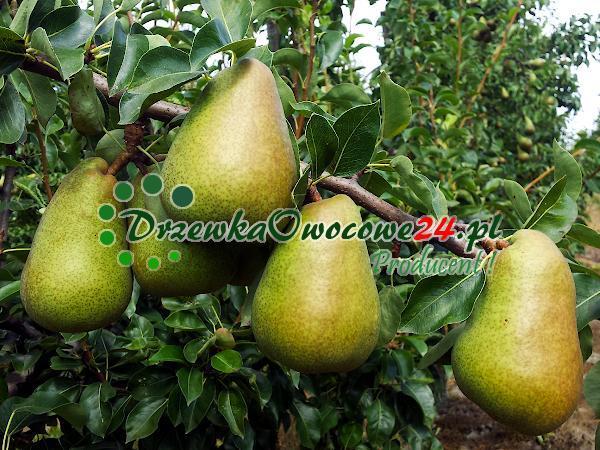 Owoce Gruszki Margarity na drzewie owocowym
