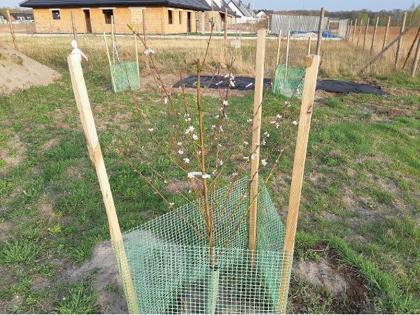 drzewka-owocowe-na-dzialce